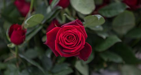 Birbirinden güzel güllerle 'Gül serası'