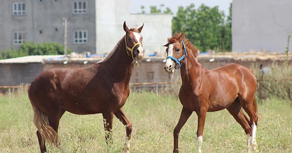 Şanlıurfa'nın Safkan Arap atları