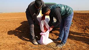 Suriye'nin buğdayı da Urfa'da üretilecek