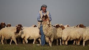 Elit koyunlara