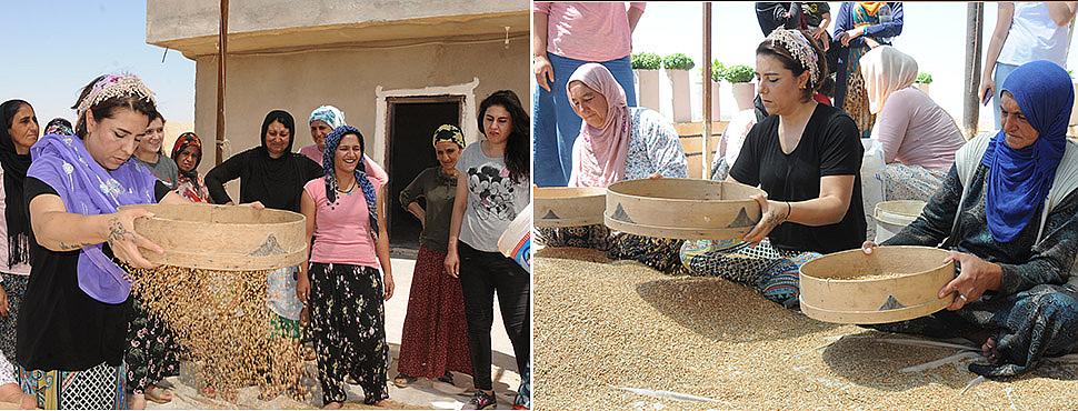 Mezopotamya'nın en eski buğdayı hasat edildi