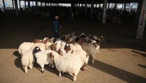 Şanlıurfa'da kuzular pazara çıkarıldı