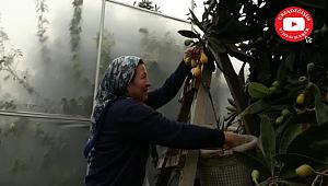 Yenidünya'da ilk hasat yapıldı