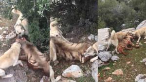 Sırtlanı köpeklere boğduranlara ceza yağdı