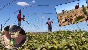 Şanlıurfa'da sebze fideleri toprakla buluşuyor
