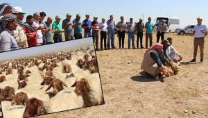 TİGEM'de hedef: 37 bin kuzu!
