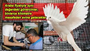 Güvercin tutkunlarının akıl almaz yarışları