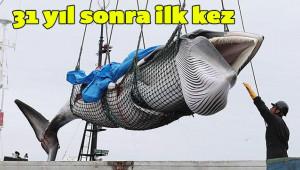 Tepkilere rağmen ticari balina avcılığı başladı