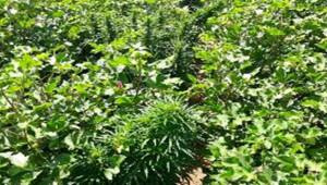 Pamuk Tarlasında 500 Kök Kenevir Bitkisi
