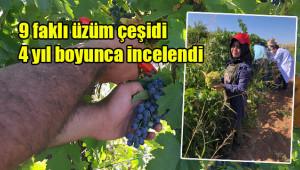 Urfa için 3 yeni üzüm çeşidi
