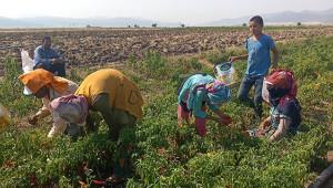 Urfalı işçiler, Antep'te biber hasadında