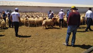 Damızlık hayvan seçimi için Urfa'ya geldiler