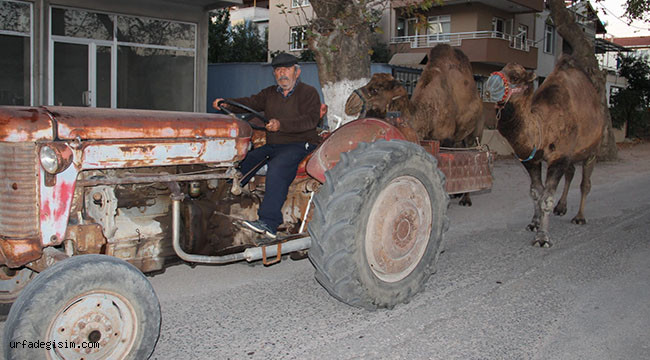 Develer traktör ile antrenman yapıyor