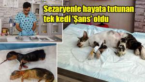 Kediye sezaryen operasyonu