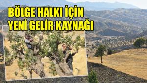 Menengiç ağaçlarından fıstık verimi sağlanacak