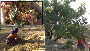Siirt'in 'Yeşil Altın'ında ilk hasat başladı