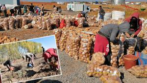 200 bin ton patates üretimi gerçekleşti