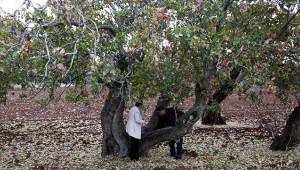 250-1000 yıllık olduğu tahmin edilen ağaçlar bulundu