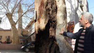 400 yıllık anıt ağaç kesilecek