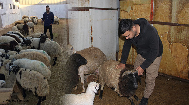 Ahırın duvarını kırıp 57 koyunu çaldılar