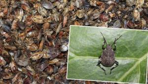 İstilacı böcekler bu kez ormanlara yöneldi