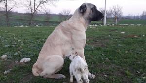 Annesi ölen keçiye köpek sahip çıktı