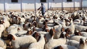 İvesi cinsi koyun popülasyonu artıyor