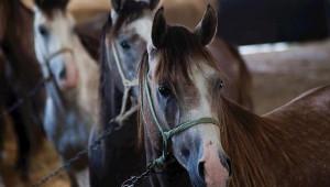 TİGEM at satışında rekor kırdı