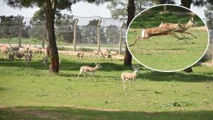 Ceylanlar doğal ortamlarında korunuyor