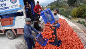 Fiyatı düşen domates üreticinin elinde kaldı