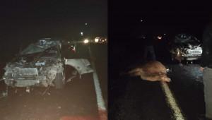 Otomobil deve sürüsüne daldı: 4 deve telef oldu