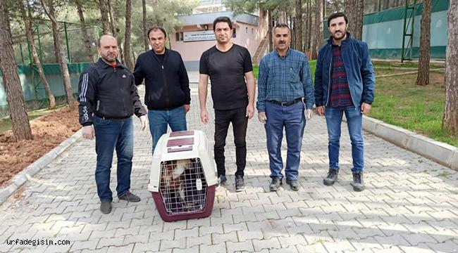Tedavi edilen kızıl akbaba doğaya bırakıldı