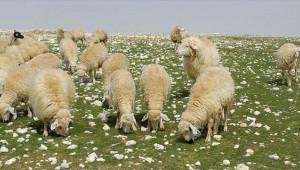 Köpekleri zehirledikten sonra koyunları çaldılar