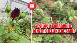 Halfeti'ye özgü Karagül'den Yeşilgül'e