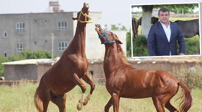 Safkan Arap atları 10 Haziran'a hazırlanıyor