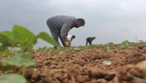 Tarım işçileri bayramı tarlada çalışarak geçiriyor