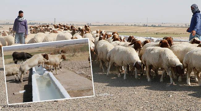 Elit koyunlarda hedef belli oldu