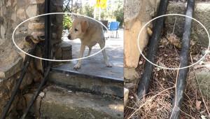Yılanın köpeğe saldırması kaydedildi