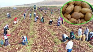 Antep'te patates hasadı başladı