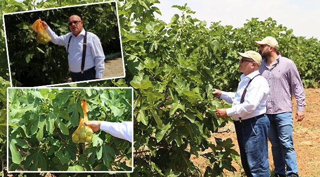 İlekleme yöntemiyle incir üretimi artacak