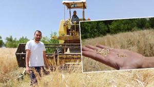 Siyez buğdayına biçilmeden sipariş yağdı