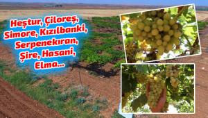 Urfa'da yerli üzüm çeşitleri koruma altına alındı