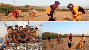 Urfalı tarım işçilerinin zorlu mesaisi
