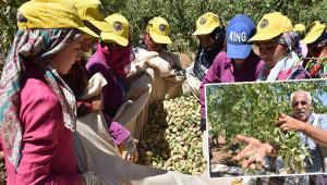Badem ağacı da rekolte de artıyor