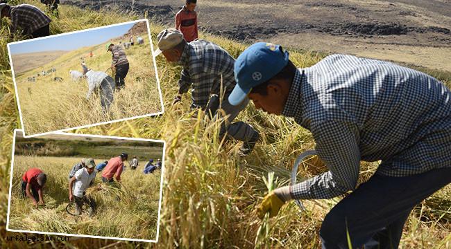 Çeltik hasadı Siverek'te başladı