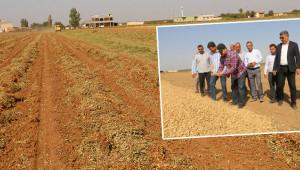 İlk kez üretilen yer fıstığı hasat edildi