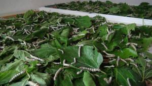 İpek böcekçiliği yapacaklara destek verilecek