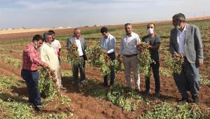 Viranşehir'de yer fıstığı hasat edildi