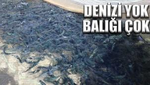 Balıklar Türkiye geneline gönderiliyor