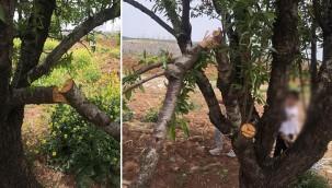 Badem ağaçlarını kırdılar!